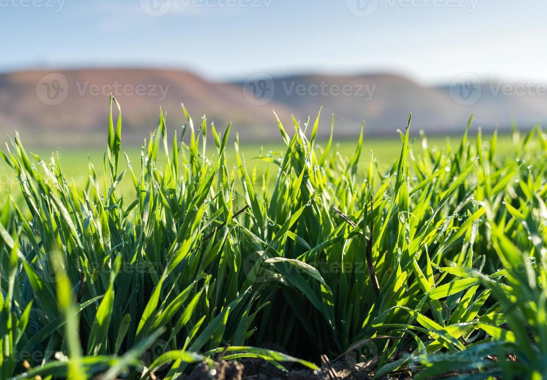 giovani piantine di grano foto