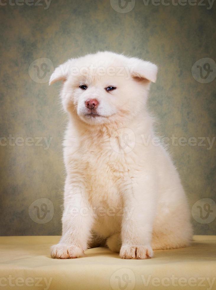 Ritratto di cane giapponese Akita Inu foto