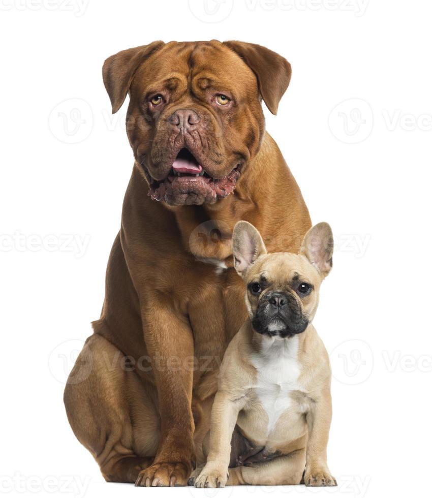 dogue de bordeaux ansimante e cucciolo di bulldog francese seduto foto