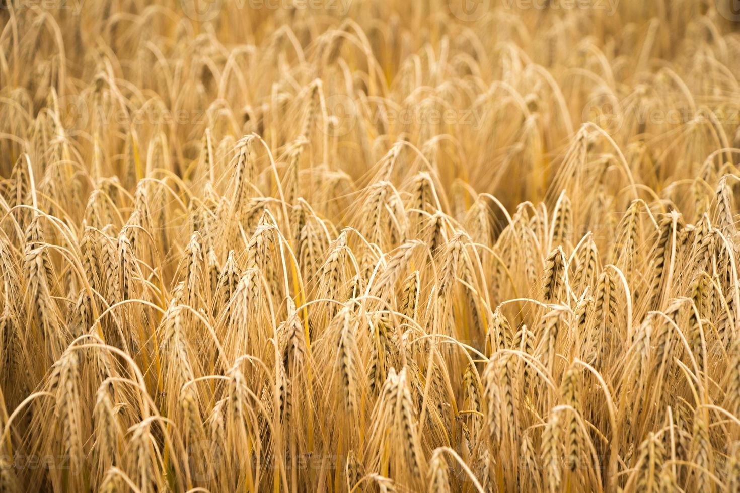 campo di grano dorato per la stagione del raccolto foto