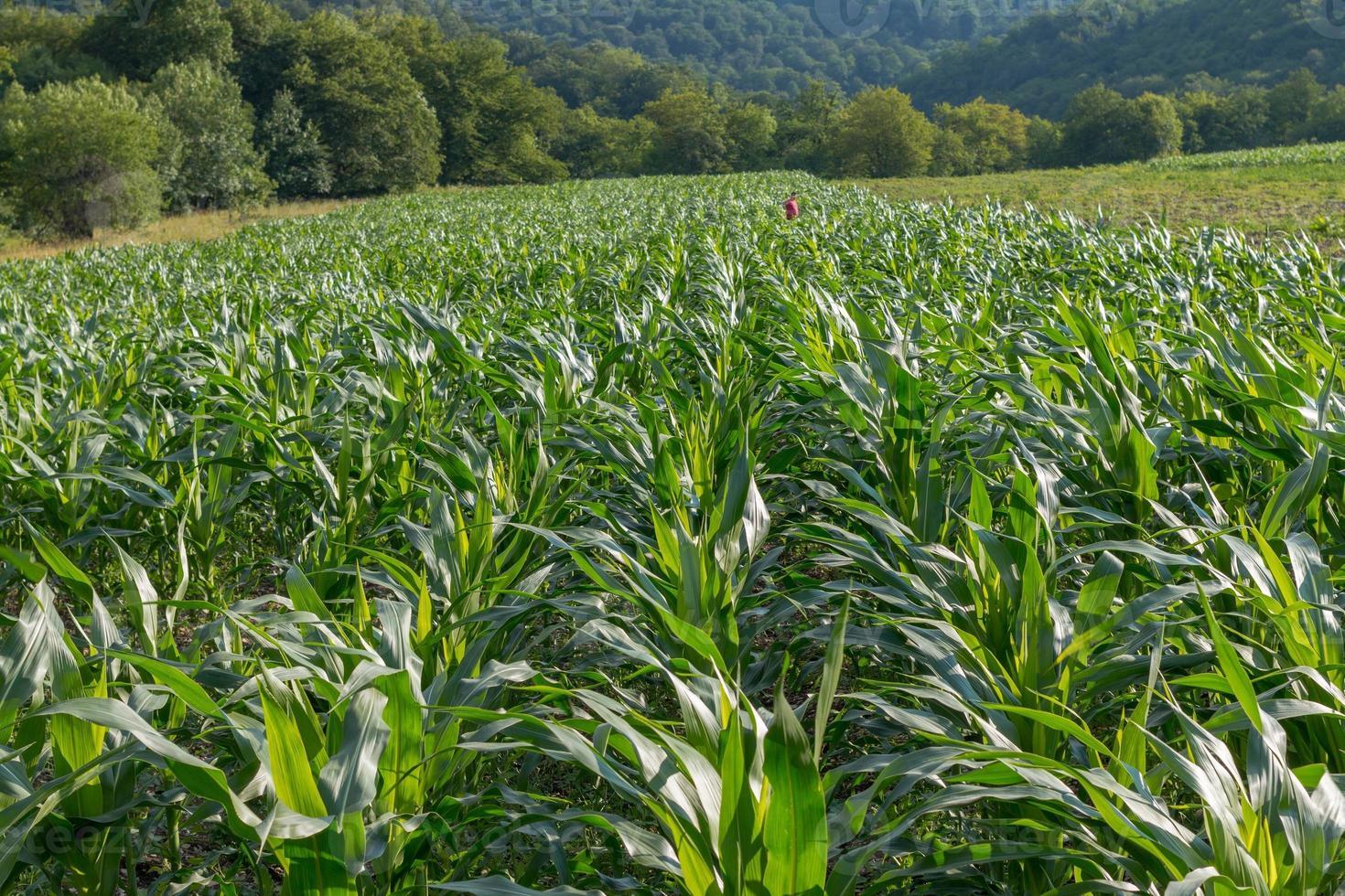 paesaggio - campo di grano vicino alla foresta foto