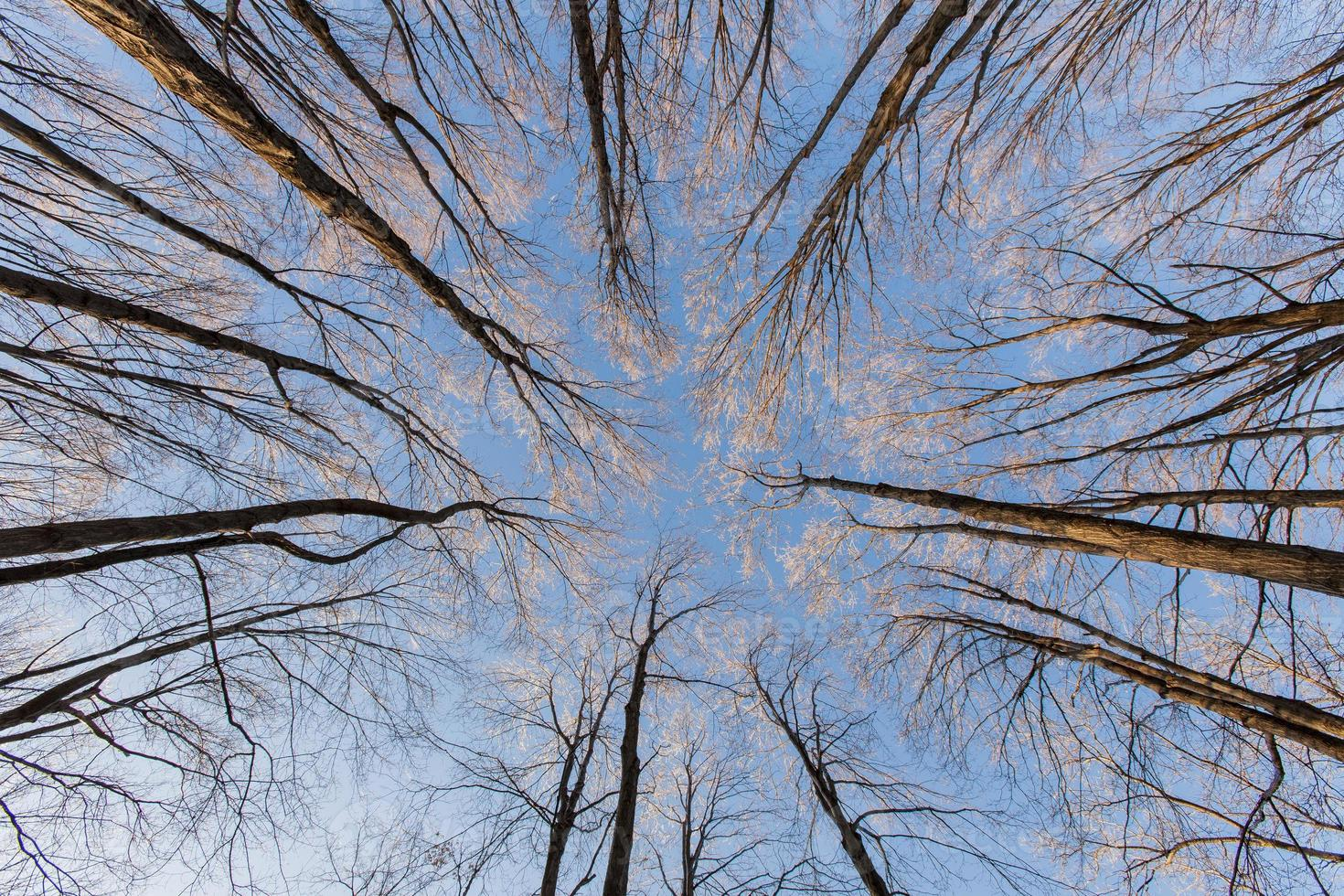 alberi che guardano in alto foto