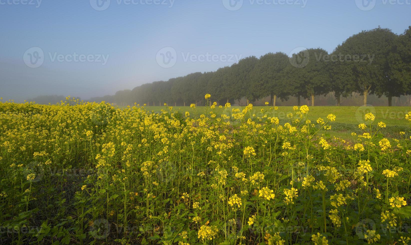 colza che cresce su un campo in autunno foto