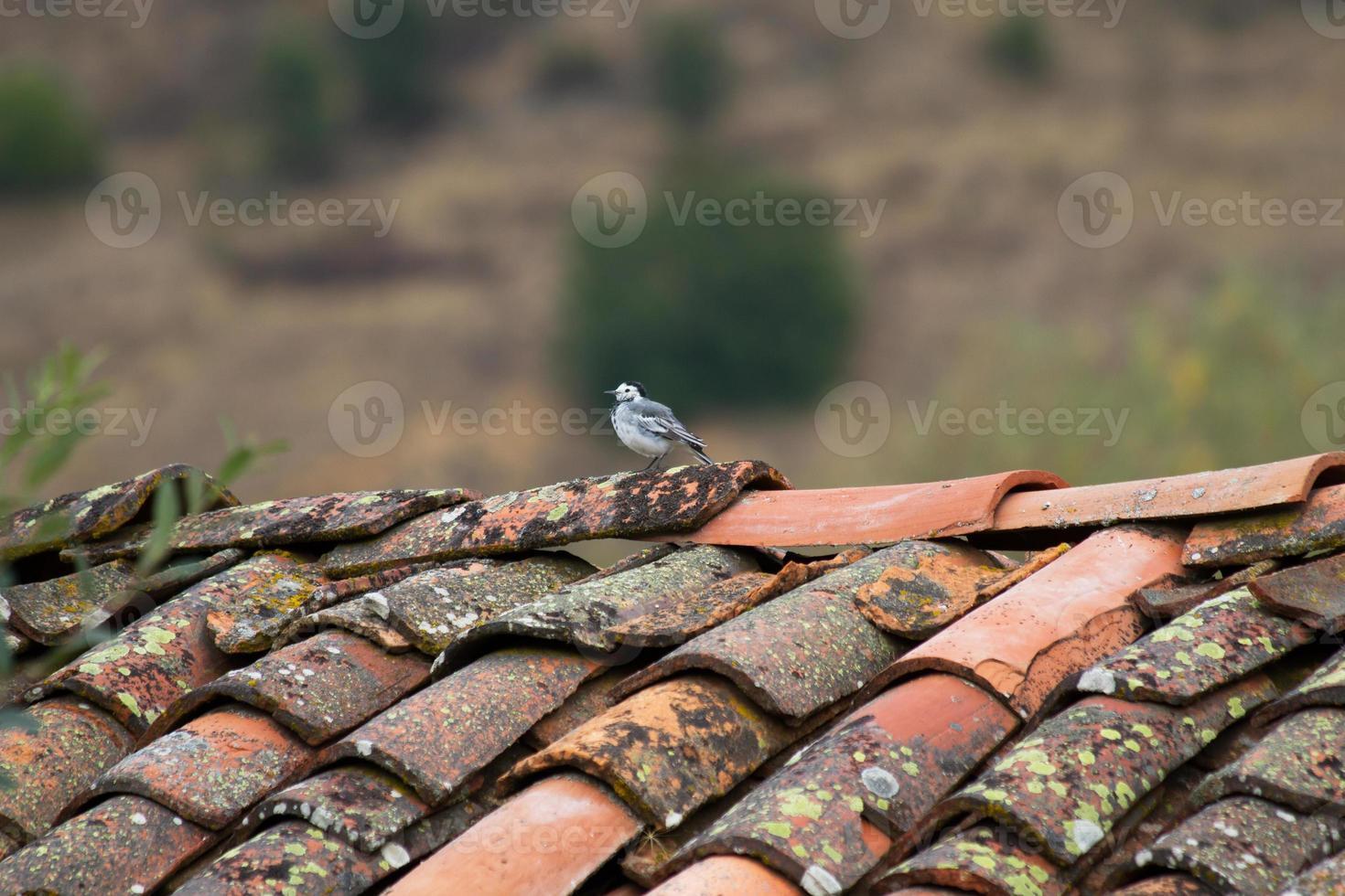 uccello sul tetto - pajaro en tejado foto