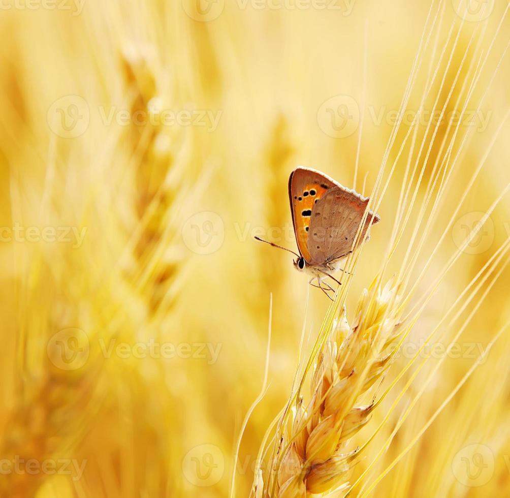 la farfalla si siede su una spiga di grano foto