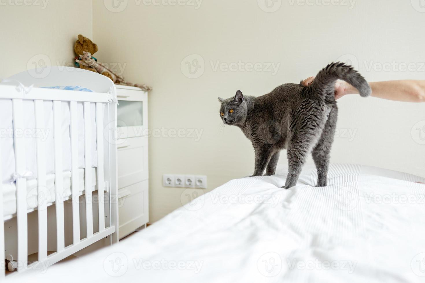 gatto blu russo foto