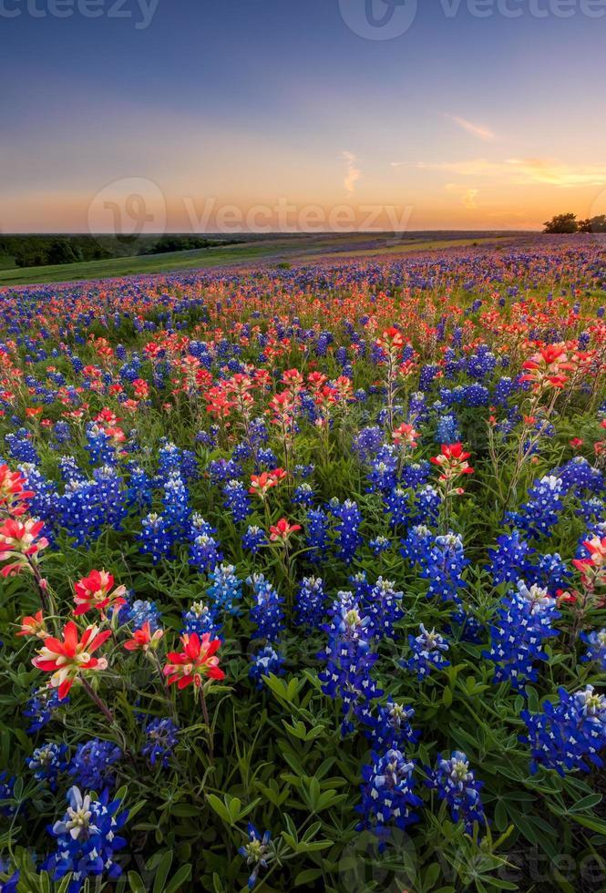 Texas Wildflower - bluebonnet e campo di pennello indiano al tramonto foto