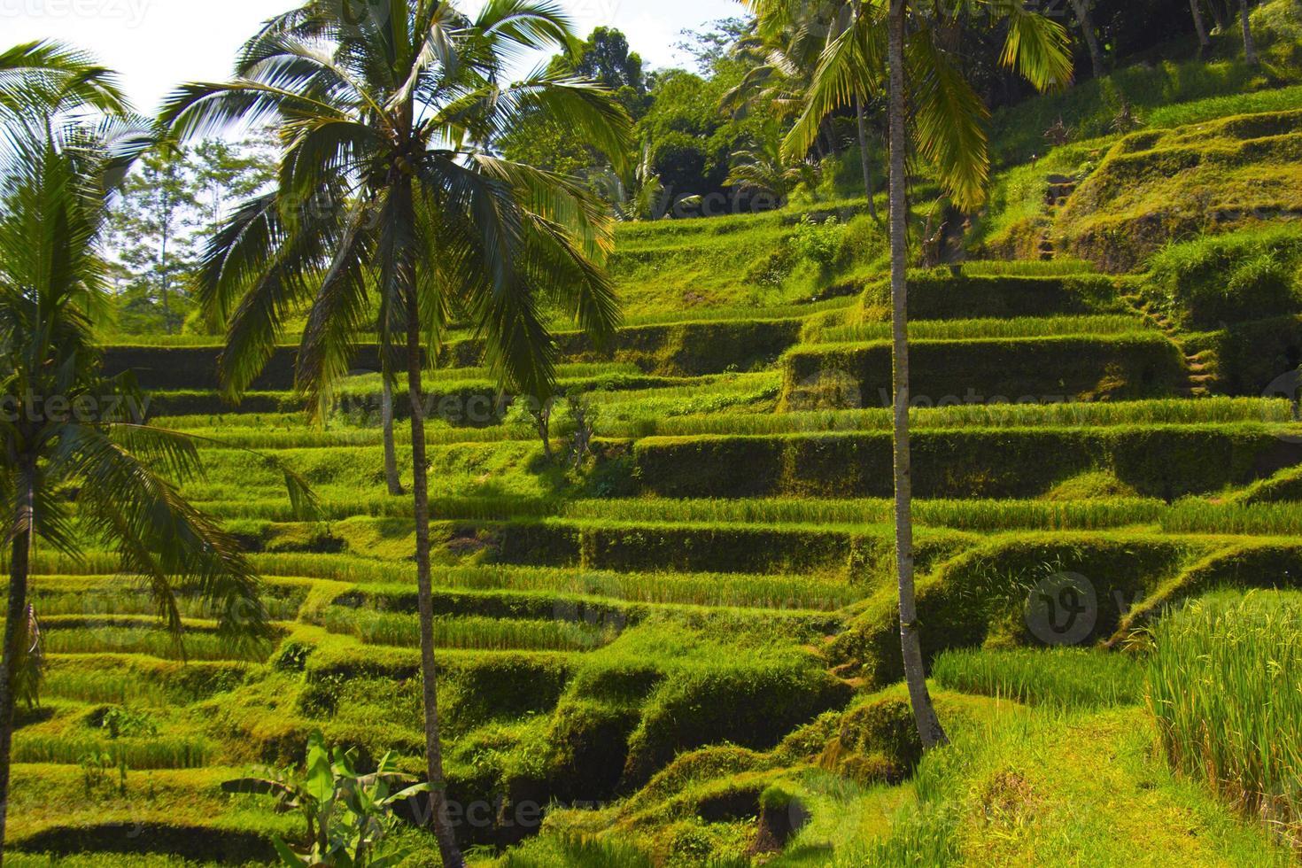 terrazza di riso tegalalang. bali foto