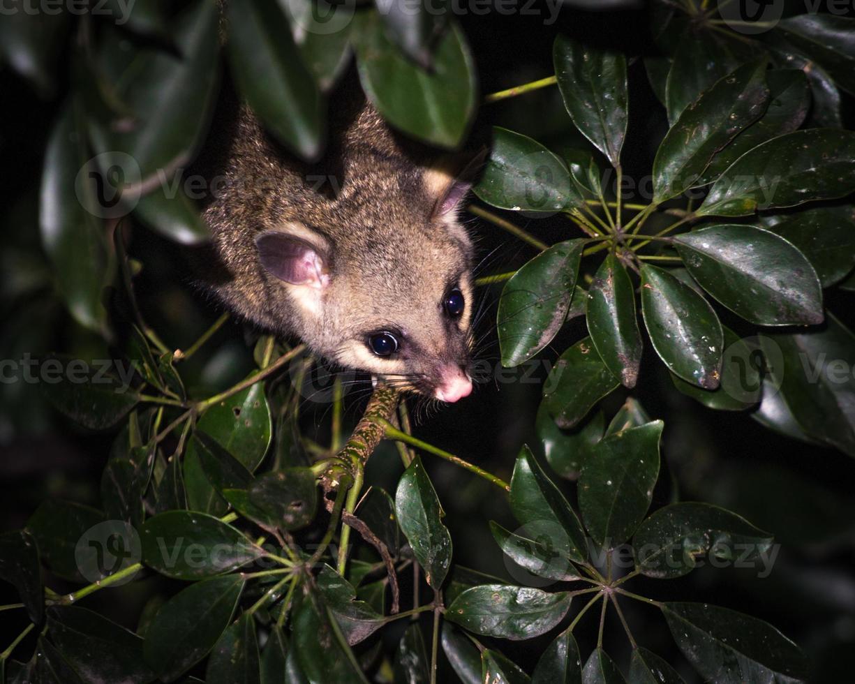 possum coda di pennello foto