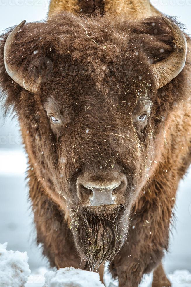 ritratto di bisonte americano foto