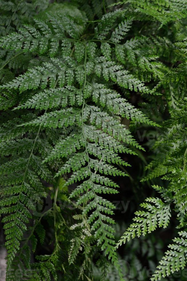 foglie verdi di una pianta di felce foto