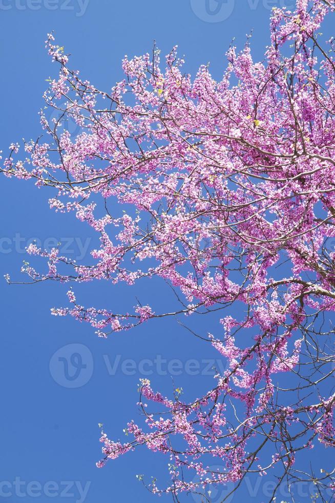 albero redbud verticale-brillante fiorisce contro un cielo blu. foto