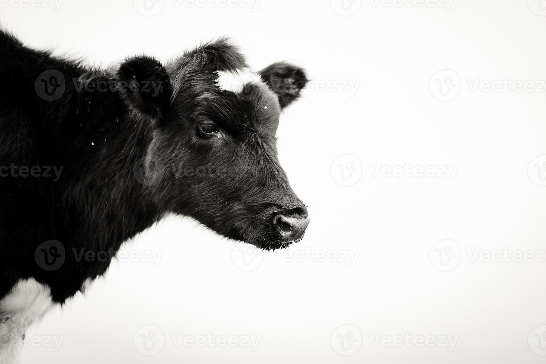 mucca africana foto