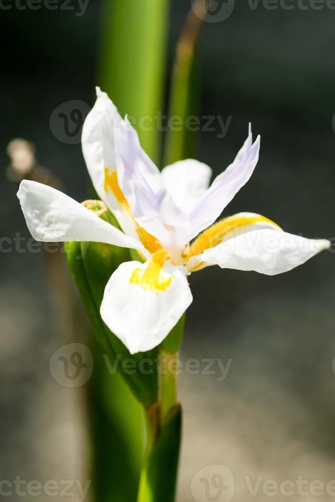 dietes grandiflora, iridaceae, sudafrica, capo orientale - natale foto