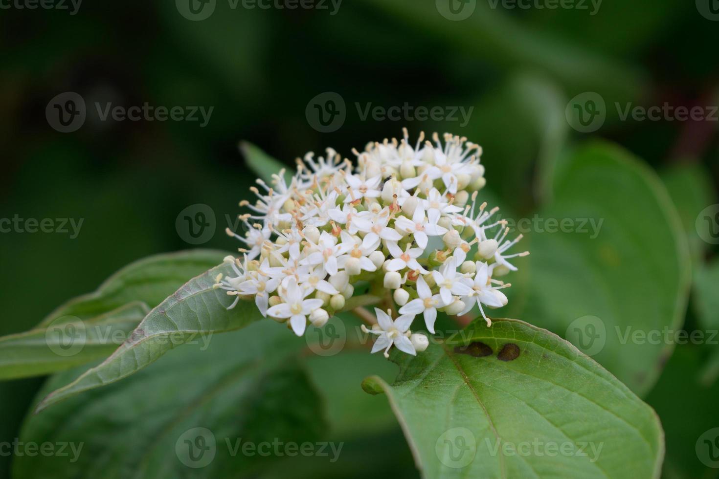 dettaglio fiore di corniolo rosso (cornus sericea) foto