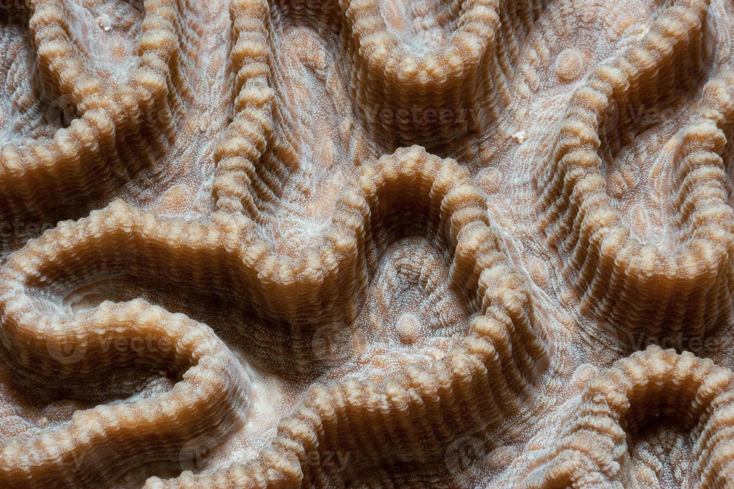 labirinto di corallo duro, isola bunaken, sulawesi settentrionale, indonesia foto