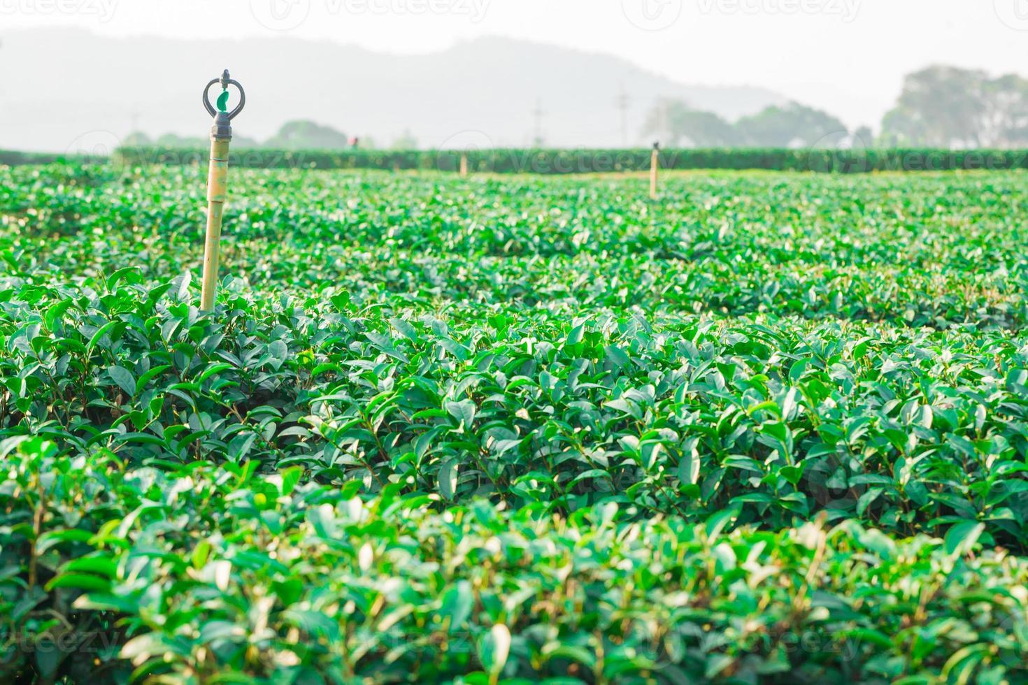 bella piantagione di tè verde fresca in chiangrai Tailandia foto