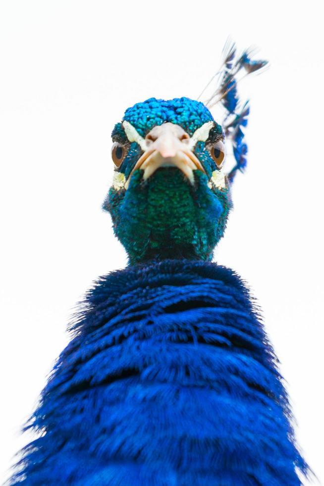 ritratto di angolo basso del pavone maschio foto