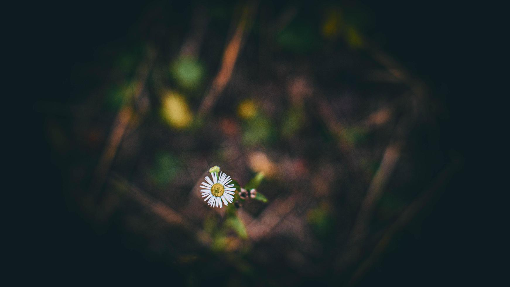 piccolo fiore margherita foto