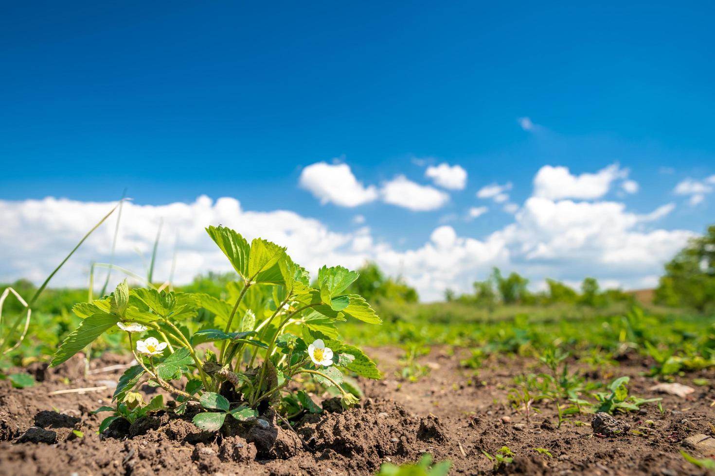 fragole che crescono in pieno sole in fattoria foto