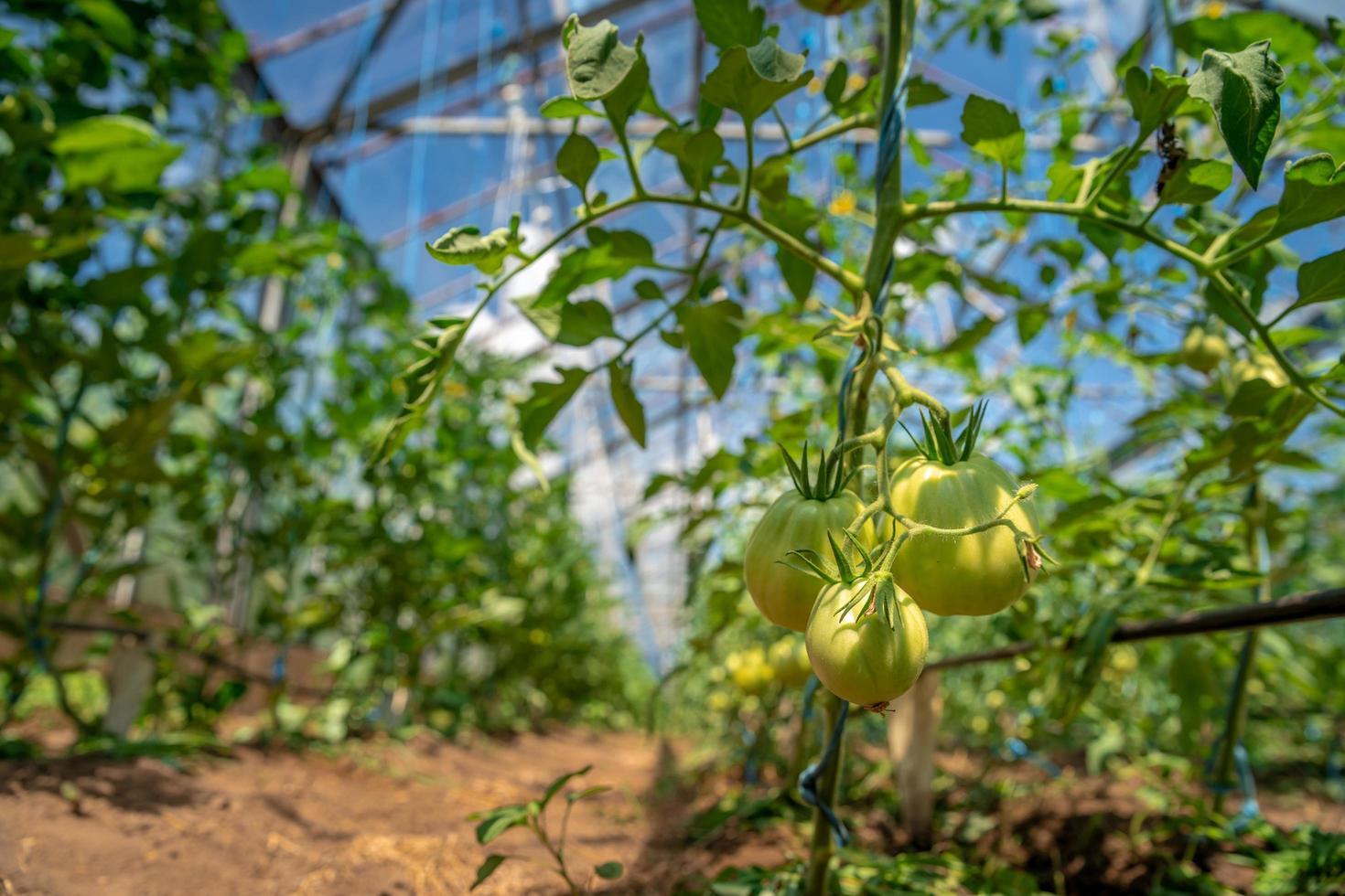 pomodori appesi in pieno sole in serra foto