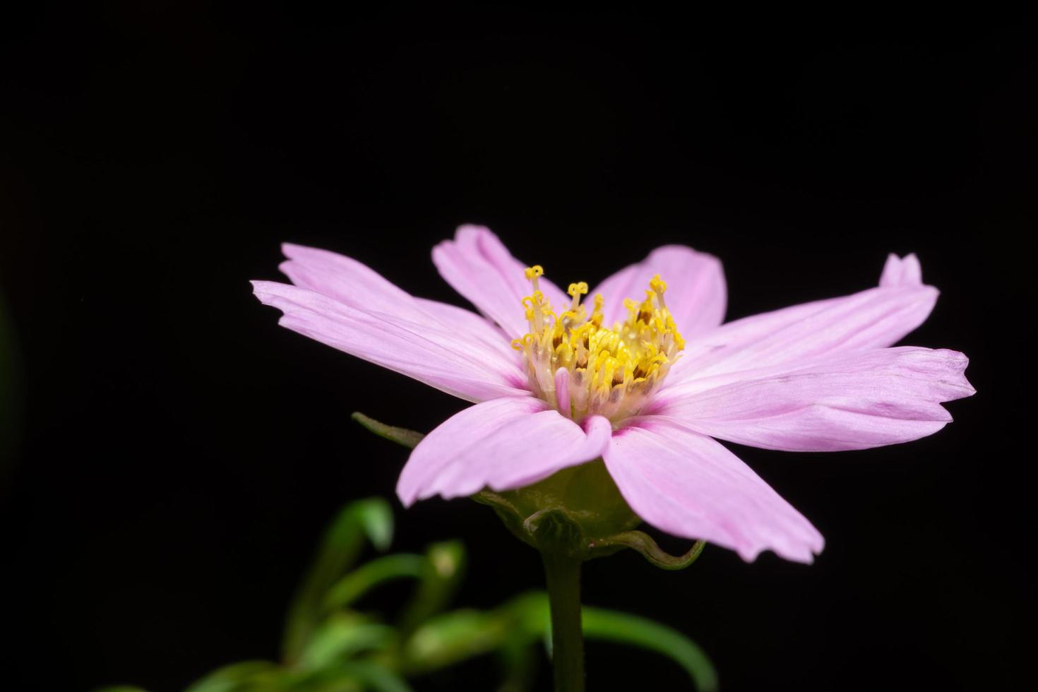 fiore di crisantemo su sfondo nero foto