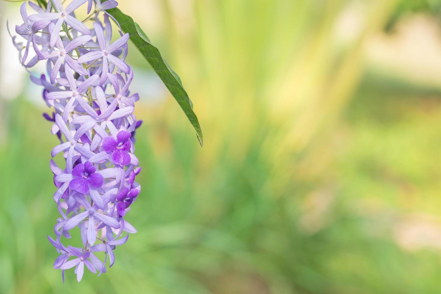 fiori viola in giardino foto