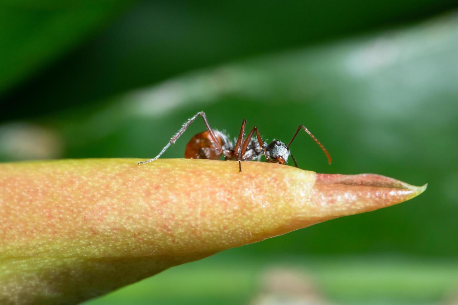 formica macro sullo stelo foto