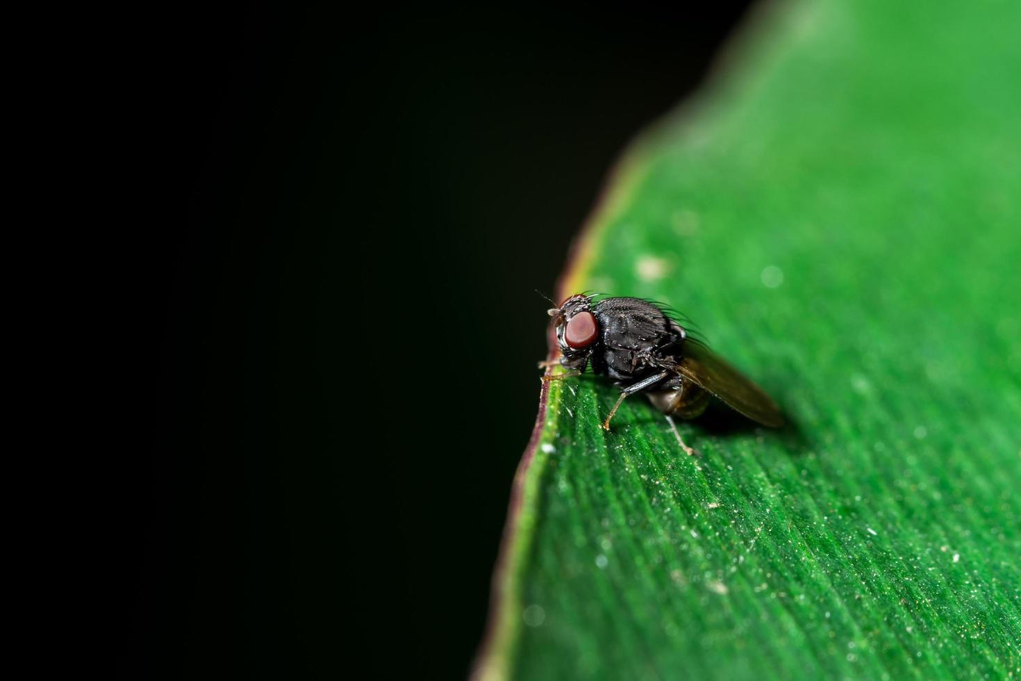drosophila vola su una foglia foto