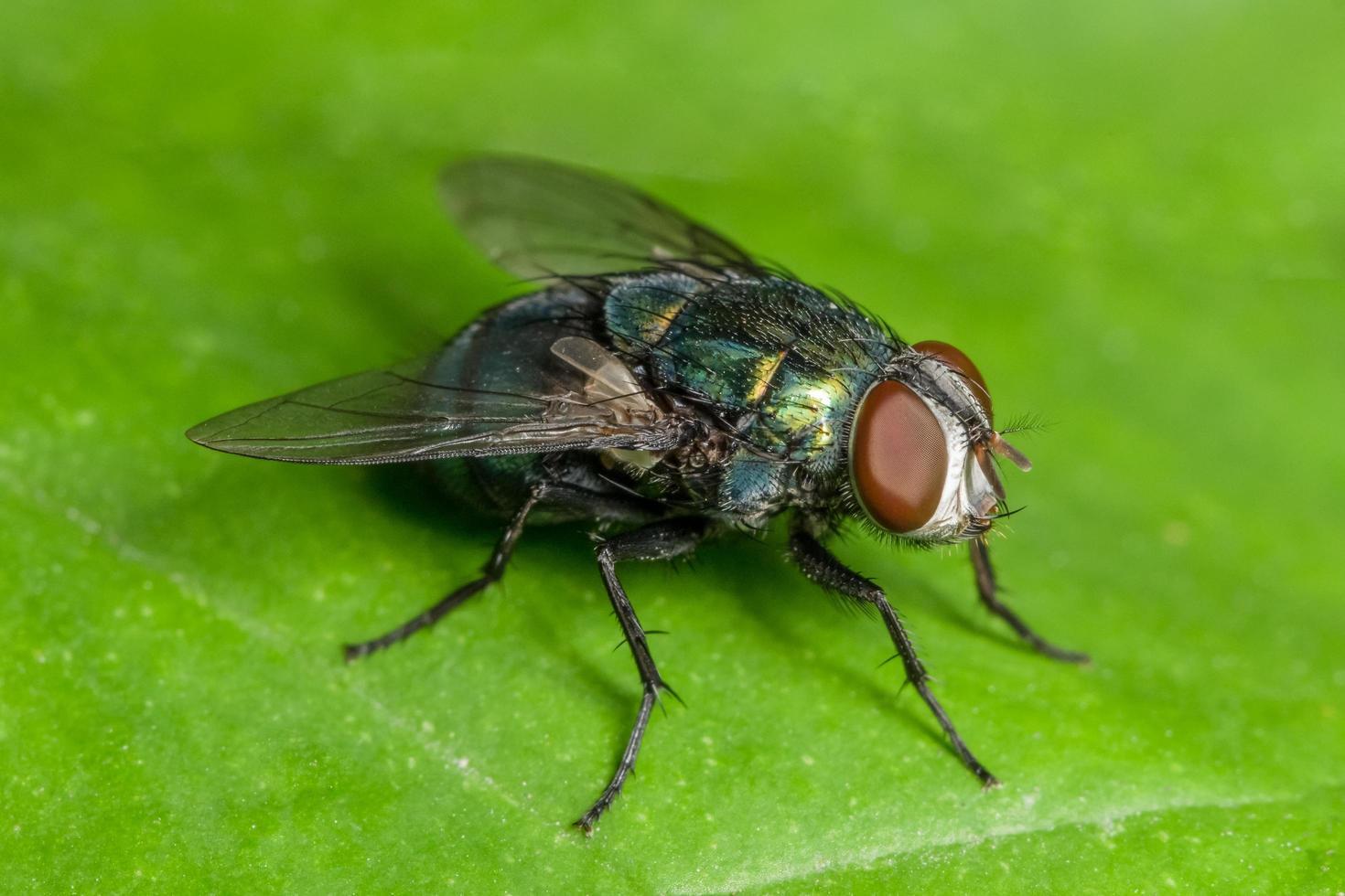 mosca della macro casa foto