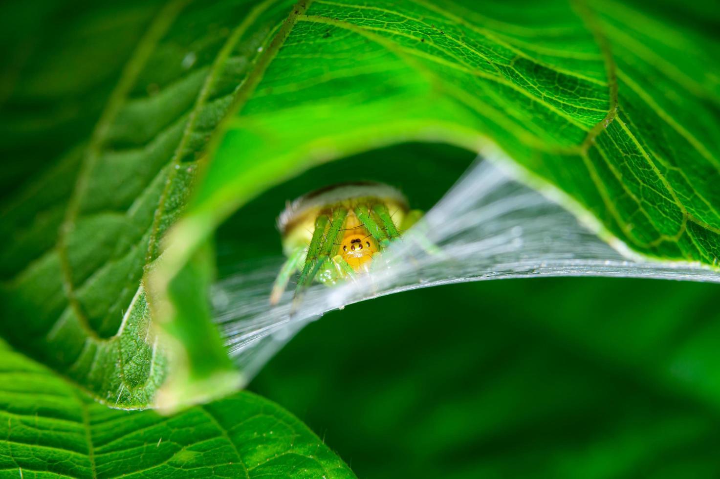 ragno sotto una foglia foto