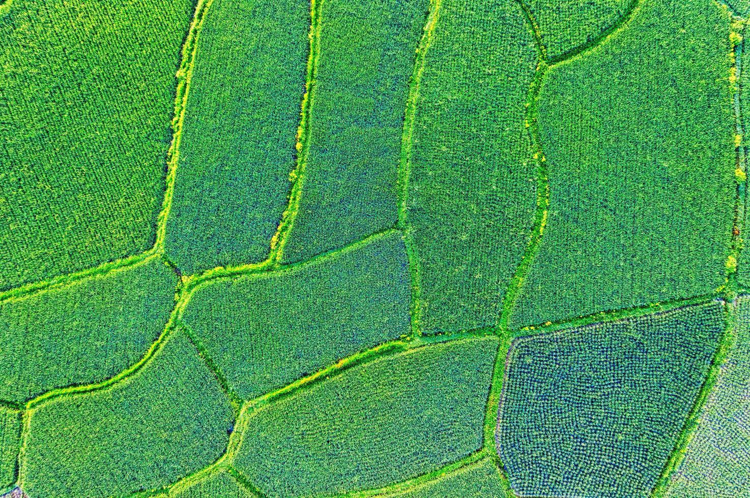 veduta aerea del campo di riso foto