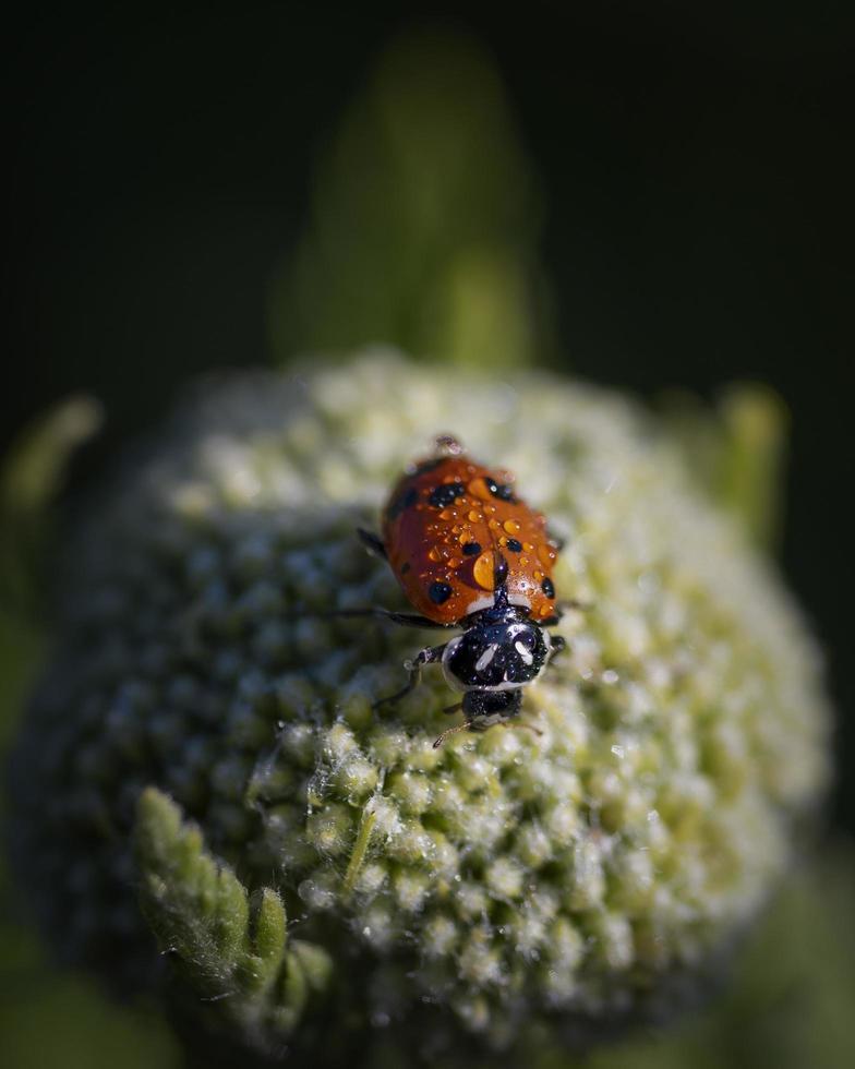 coccinella sulla pianta foto