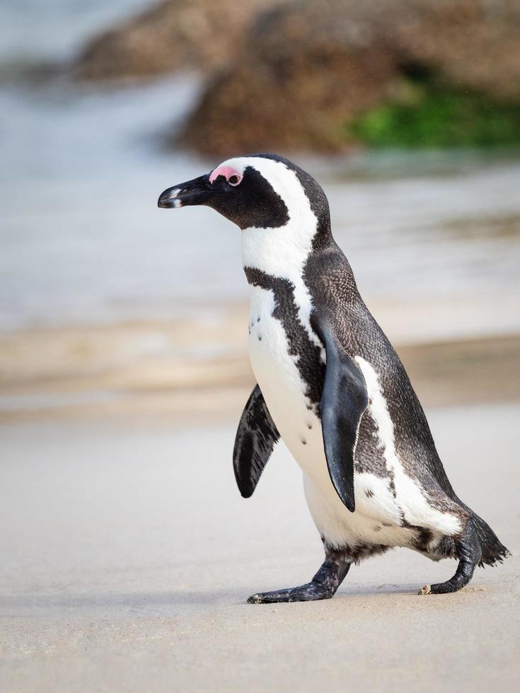 pinguino in bianco e nero che cammina sulla spiaggia foto