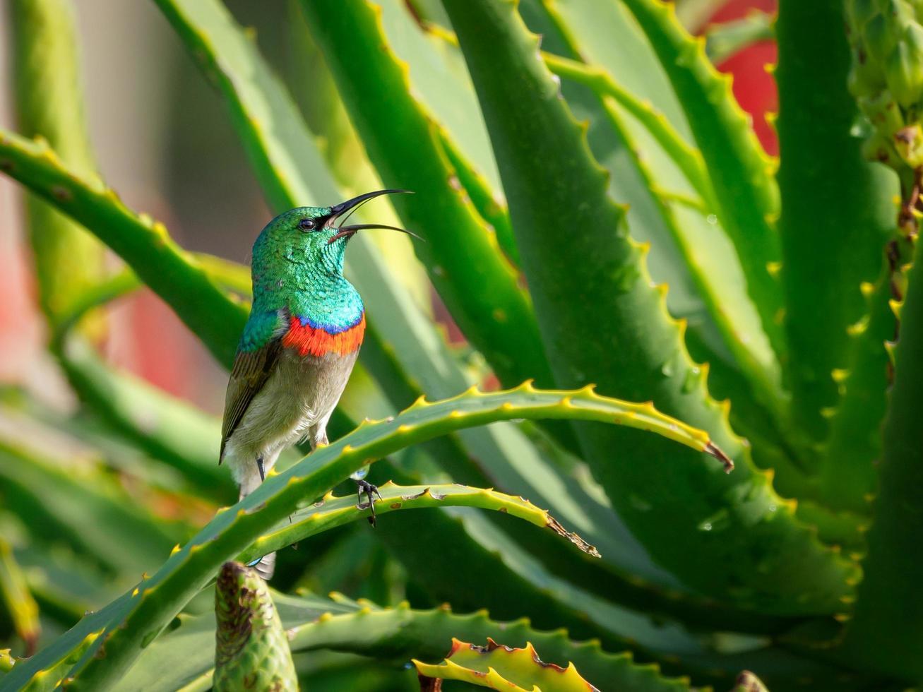 Sunbird meridionale a doppio colletto su pianta di aloe vera foto