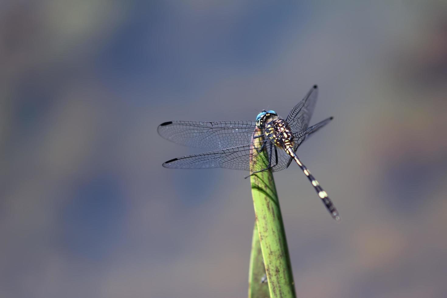 libellula su foglia foto