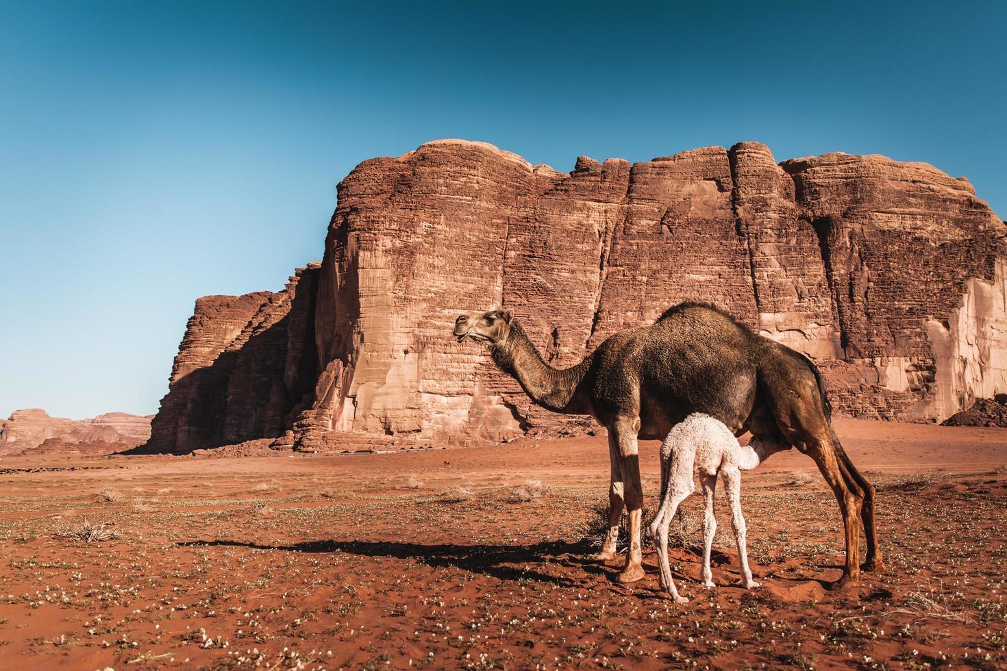 baby camel infermiere madre nel deserto della Giordania foto