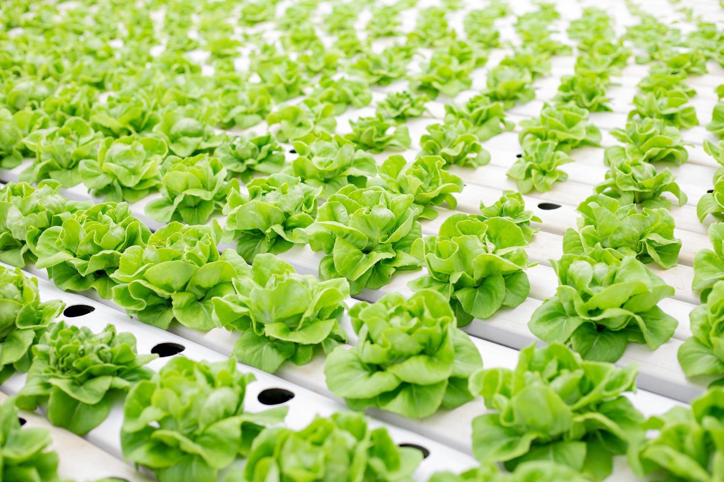 lattuga che cresce in serra foto