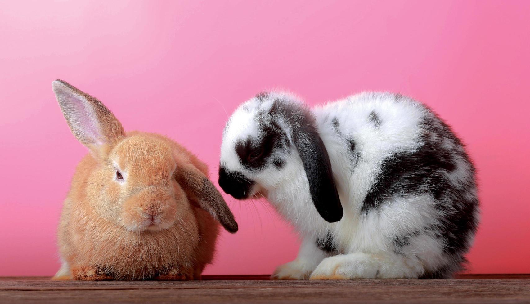 due simpatici conigli su sfondo rosa foto