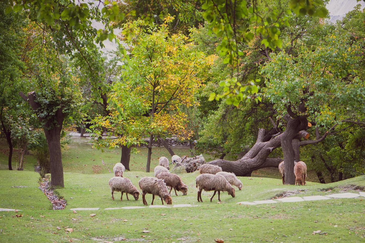 gregge di pecore al pascolo su un lussureggiante prato verde foto