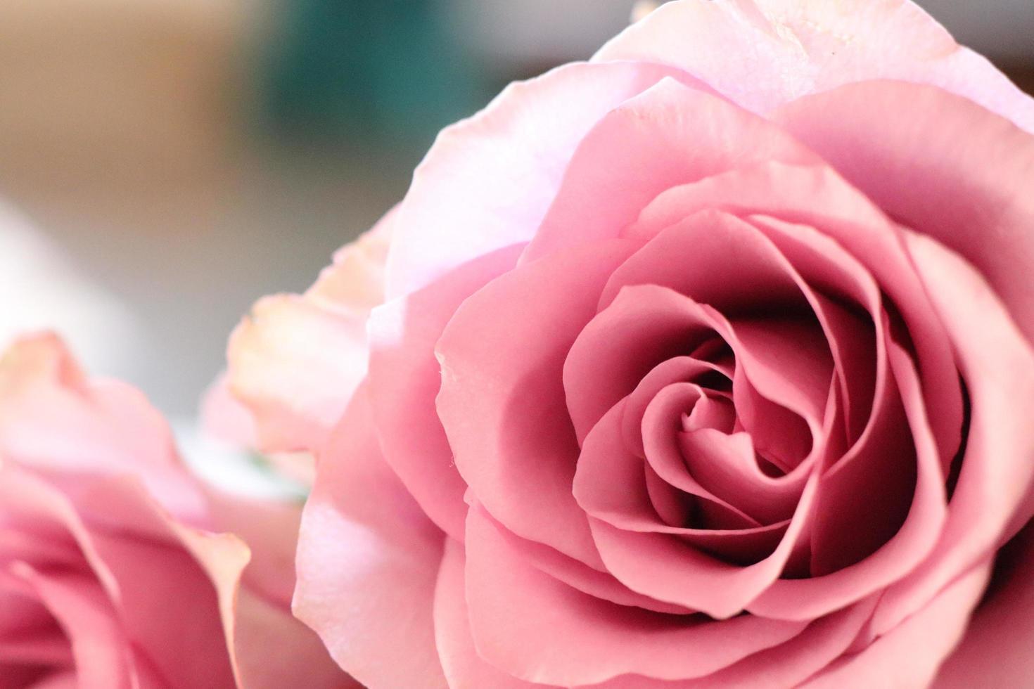 rosa rosa da vicino foto
