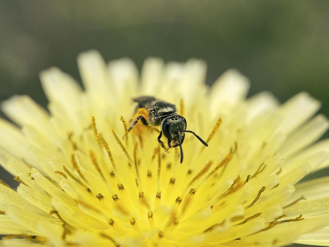 ape che lavora su un fiore giallo foto