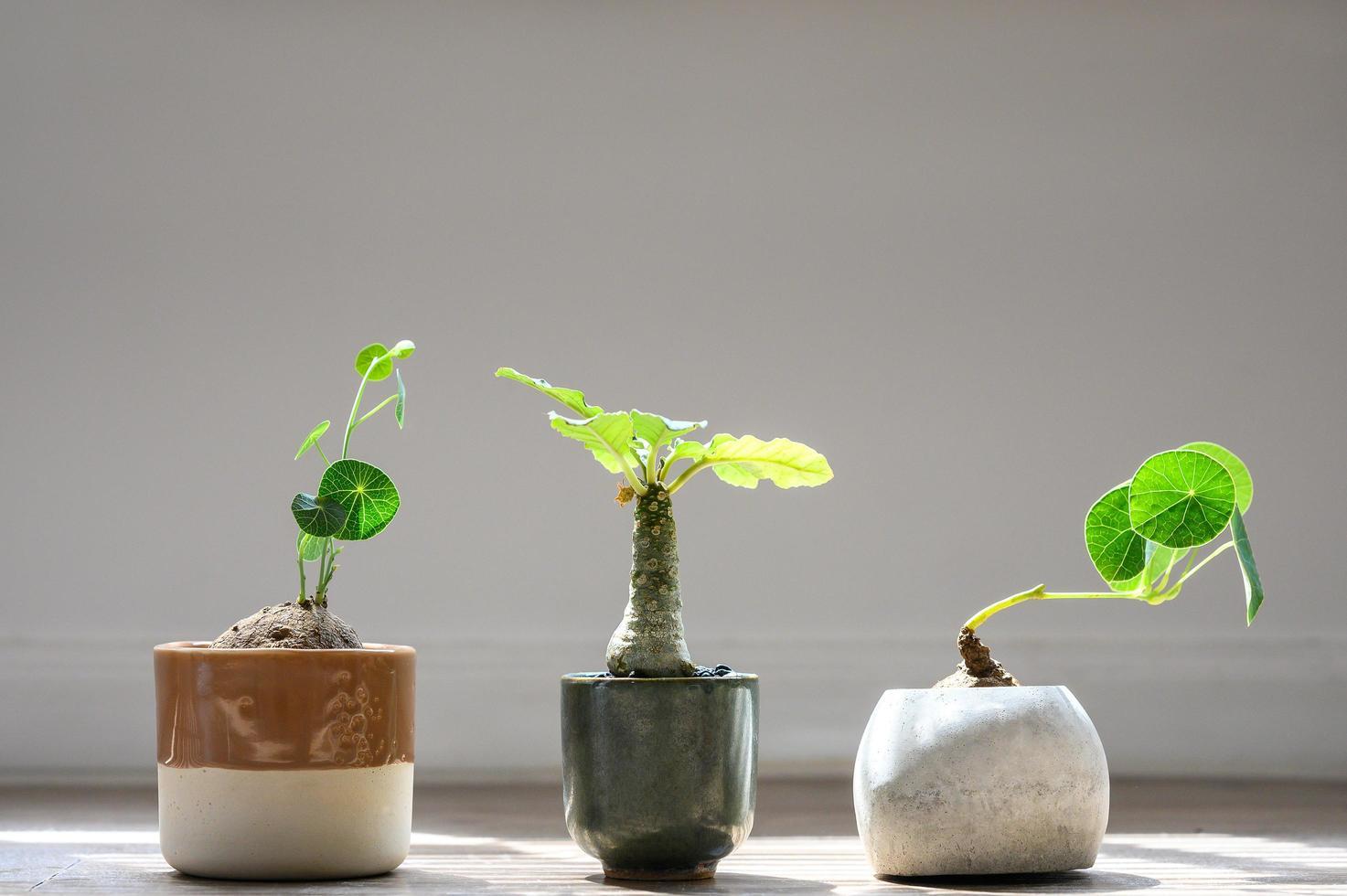 Stephania Erecta e Dorstenia piantano sotto la luce del sole foto