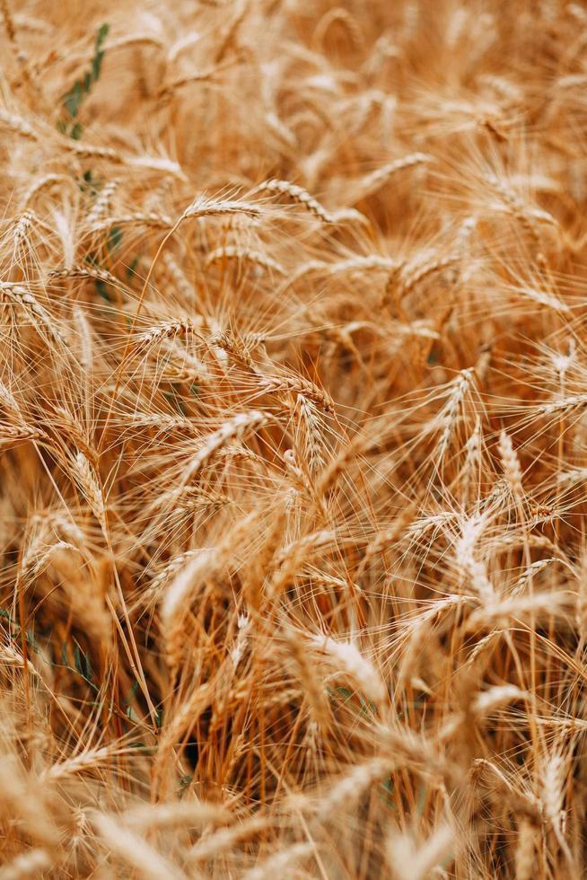 primo piano del campo di grano foto