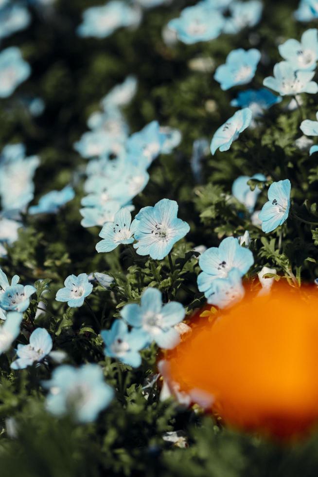 stretta di fiori bianchi e blu foto