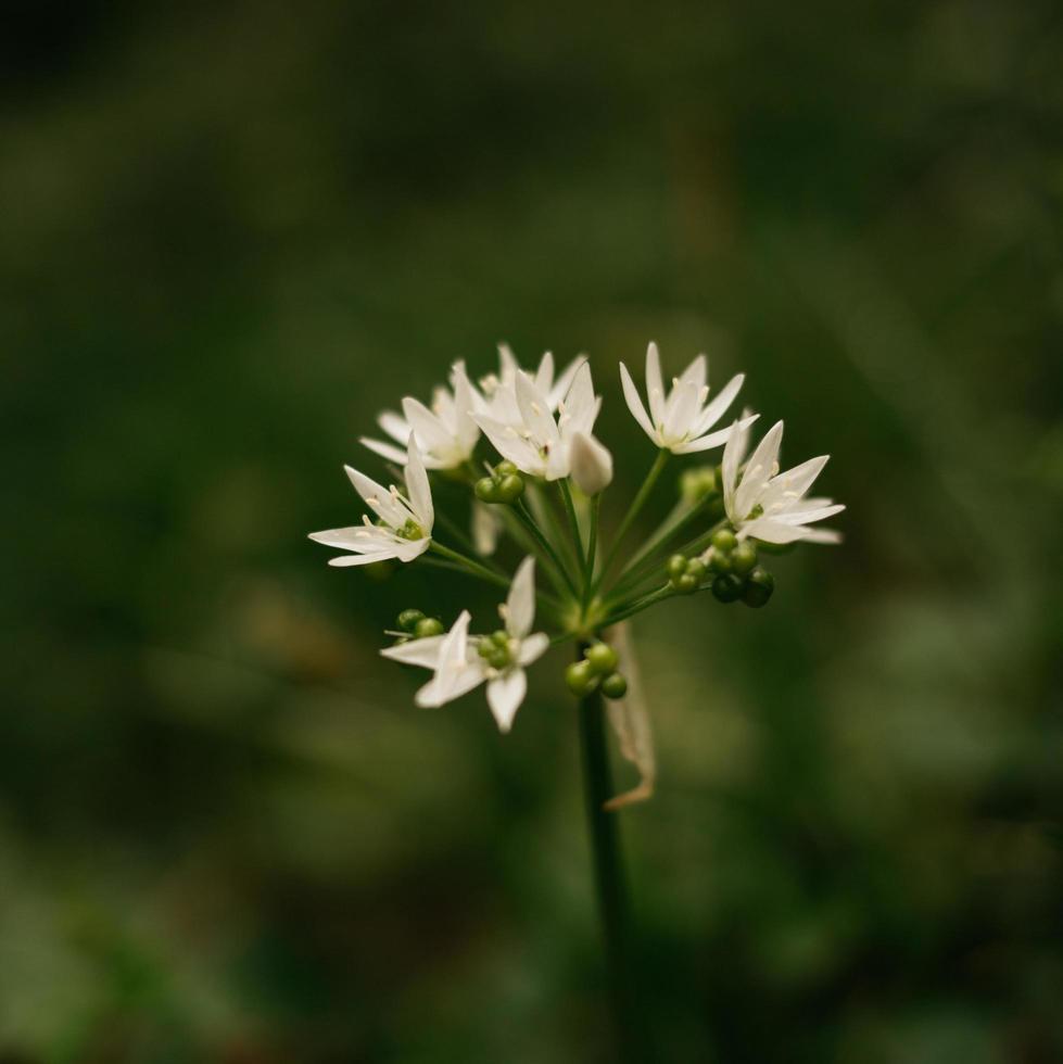 fiore singolo bianco foto