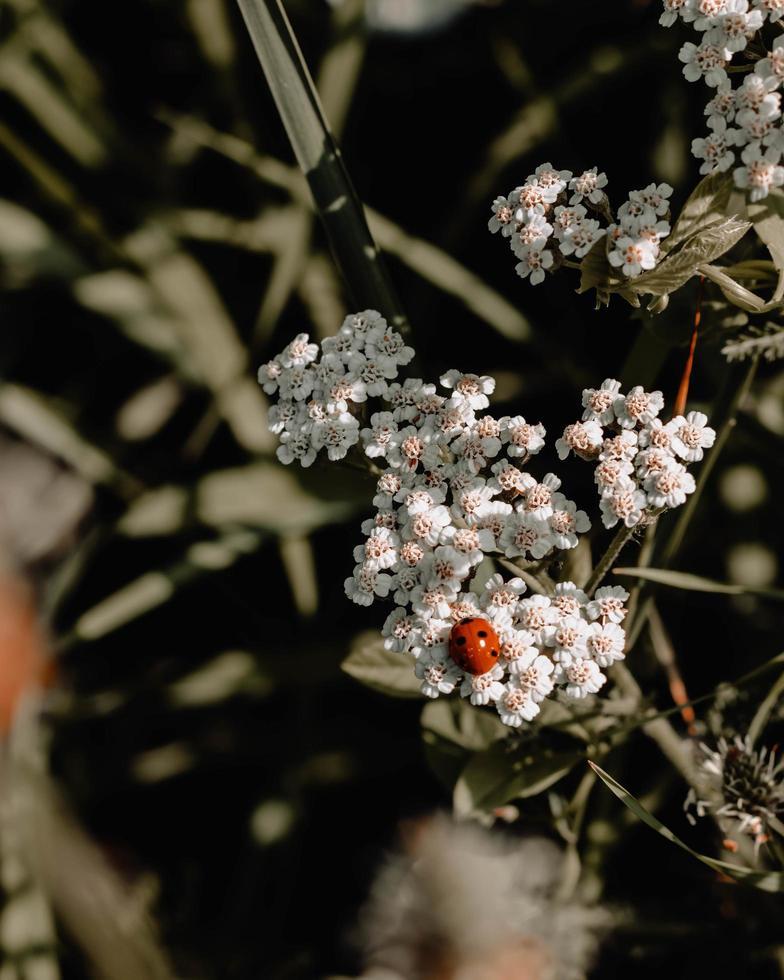 coccinella su fiori a petali bianchi foto