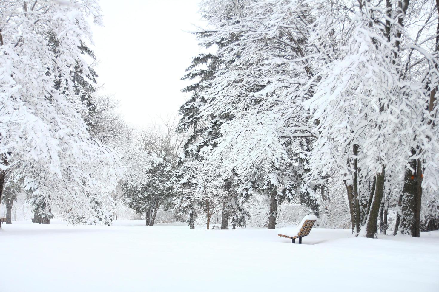 abeti coperti di neve foto