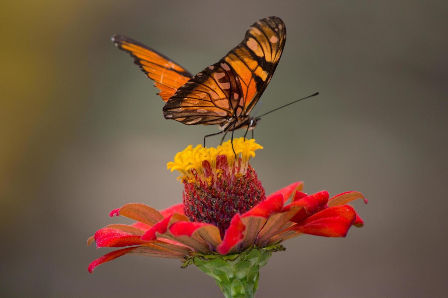 farfalla monarca sul fiore foto