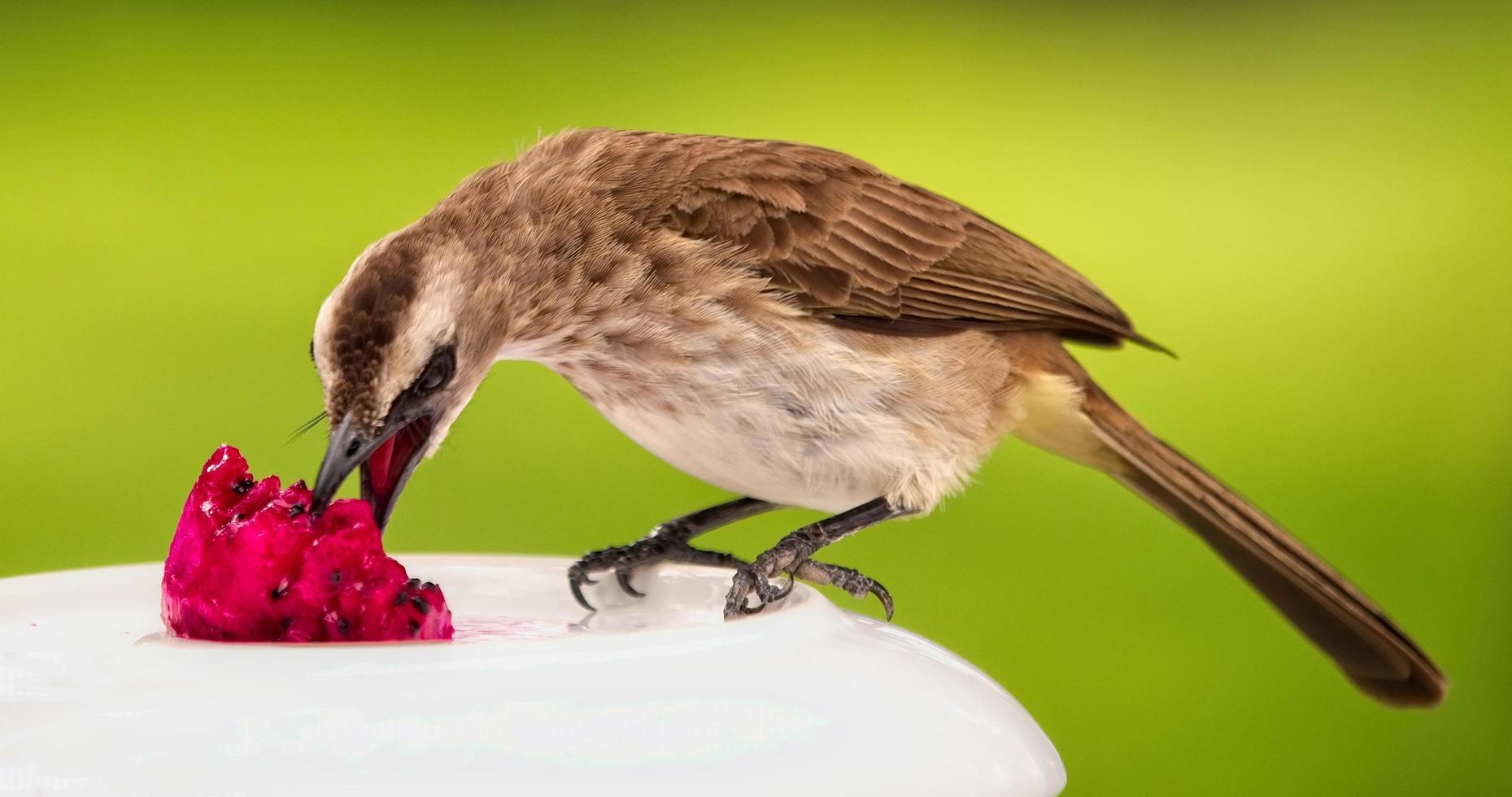 uccello marrone che mangia frutta foto